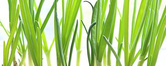 Зеленый лук на зиму. Состав и польза зеленого лука